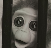 Monkey Love Experiments